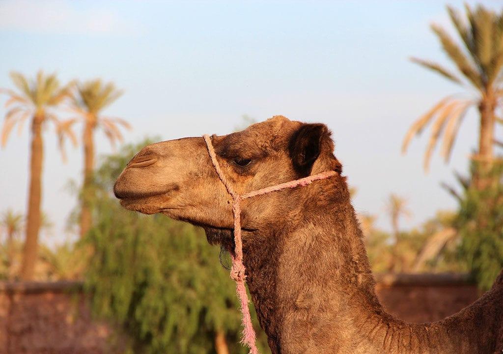 Maroc incentive